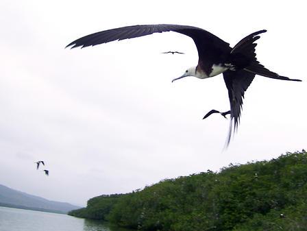 L'Isla Corazon : des milliers de mangroves et tout autant de frégates
