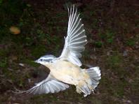 Gros plan sur les ailes d'un oiseau dans le boisé de Baie-St-Paul