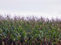 Champs de maïs