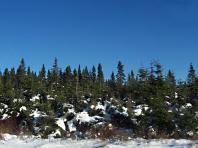 Neige collante sur les conifères de Charlevoix
